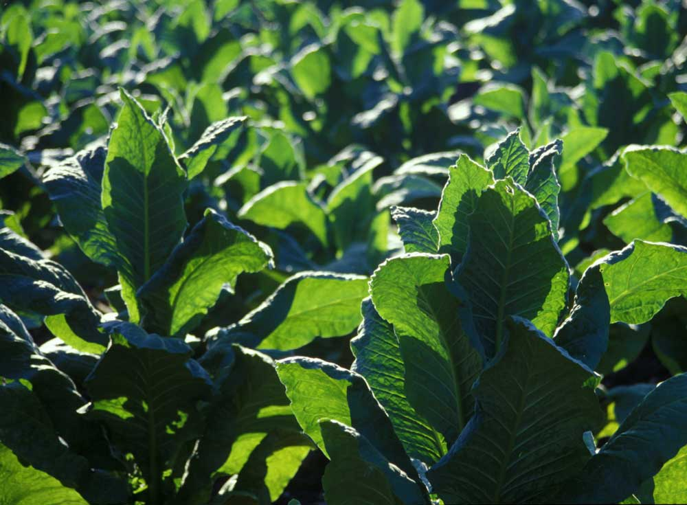 Photo of Tobacco