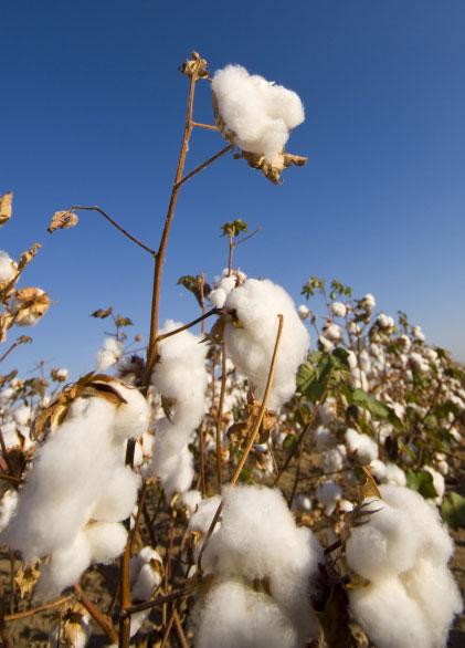 STAX Cotton