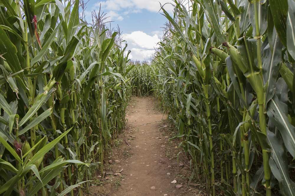 SCO Corn